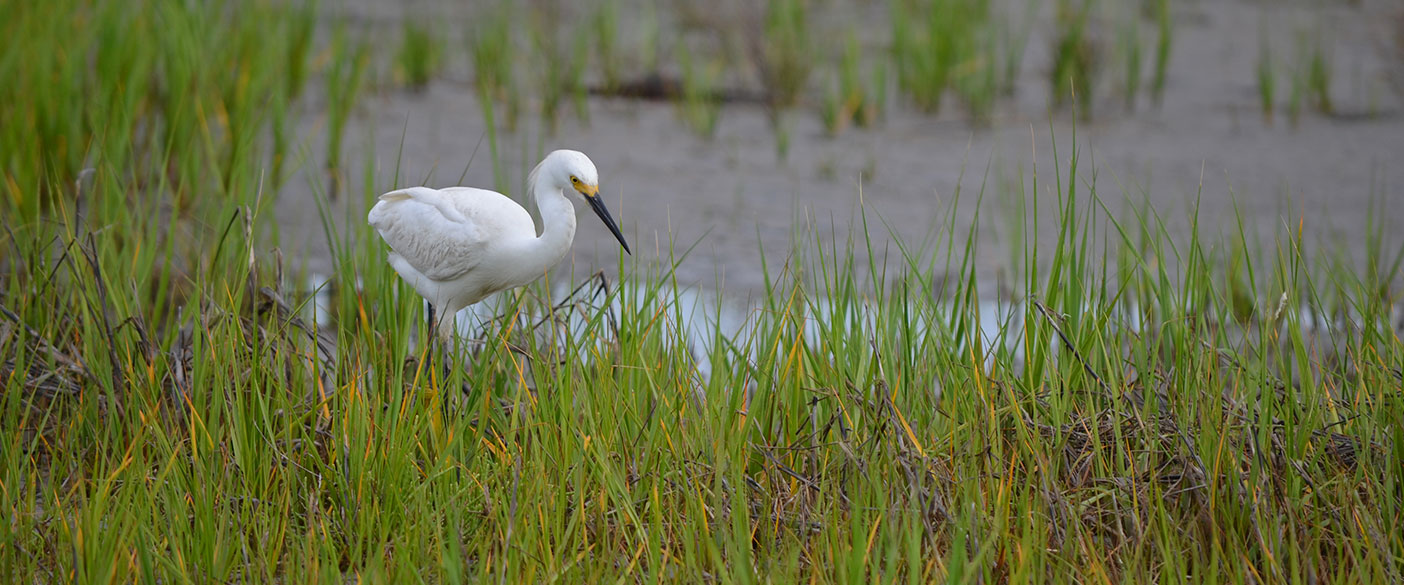 Our biologists observed and documented threatened and endangered species on undocumented nesting platforms, in rookeries, and on the marsh surface.